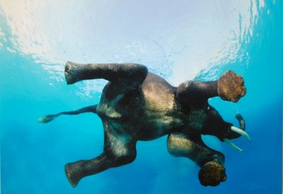 Elephant-swimming-underwater-from-asgerd-scotland-uk[1]